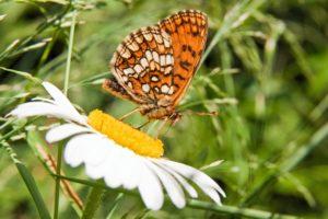 Farfalla in Val d'Ossola - ph. Marco Benedetto Cerini