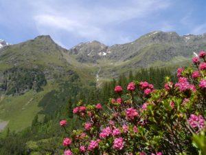Fioritura dei rododendri in Valle Vigezzo